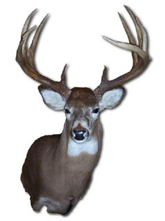 10 Point Piebald Whitetail Deer